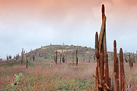 Cactuses, Netherland Antilles, Caribbean, Atlantic, Bonaire, Bonaire, Washington Slagbaai National Park, Playa Chikitu