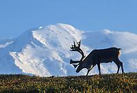Bull caribou on a tundra ridge silhouetted against Mt. Denali, Denali National Park, Alaska.