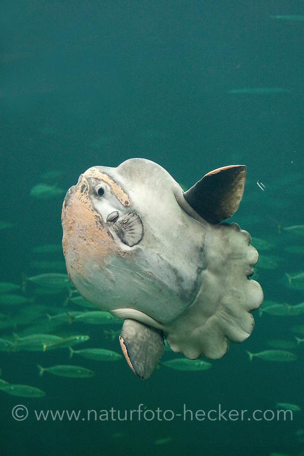 Mondfisch, Mond-Fisch, Klumpfisch, Mola mola, Sunfish, ocean sunfish, Klumpfisk