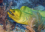 13 June 2014: A Green Moray Eel (Gymnothorax funebris) is seen on the reef at ZZ Top Wall, on the North Shore of Grand Cayman Island. Located in the British West Indies in the Caribbean, the Cayman Islands are renowned for excellent scuba diving, snorkeling, beaches and banking.  Mandatory Credit: Ed Wolfstein Photo *** RAW (NEF) Image File Available ***