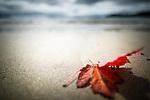 A leaf on the beach in Acadia National Park, Maine, USA