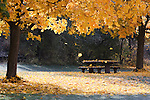 Maple leaves falling on a picnic table in autumn in Missoula, Montana