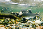 Male pink salmon (Oncorhynchus gorbuscha) in spawning redd in stream shallows, Atnarko River, Great Bear Rainforest, British Columbia, Canada, September