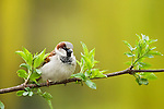 House Sparrow (Passer domesticus) male, Berlin, Germany