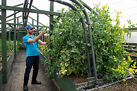 BNPS.co.uk (01202) 558833<br /> Pic: BNPS<br /> <br /> Pictured: Antonio Paladino with the peas<br /> <br /> Something fishy or food for thought?<br /> <br /> A chef turned farmer is leading the way in sustainable farming by using fish poo as fertiliser.<br /> <br /> Antonio Palladino farms organically-fed rainbow trout and uses their waste to grow about 50 different fruits and vegetables without the need for soil.<br /> <br /> He says using fish waste as fertiliser is the most sustainable farming method and produces a bigger and much tastier crop.