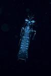 Mantis shrimp larva, Black Water Diving; Florida Atlantic Diving; Plankton; larval fish; pelagic larval marine life; plankton creatures, jellyfish; SE Florida, Atlantic Ocean; Gulf Stream current