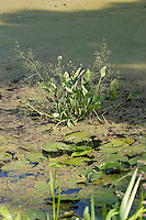 Gewöhnlicher Froschlöffel, in einem Teich, Alisma plantago-aquatica, Water Plantain