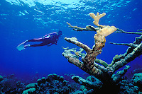 Scuba diver near elkhorn coral. Nassau New Providence Bahamas Caribbean.