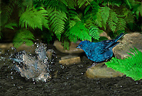 Male Indigo Bunting, Passerina cyanea, watches with interest as a female Indigo baths vigorously in a garden pool