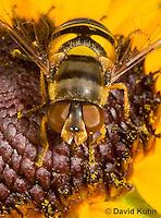 0310-1205  Transverse Flower Fly (Hover Fly), Pollinating Flower,  Eristalis transversa  © David Kuhn/Dwight Kuhn Photography