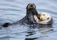 Two sea otters, Enhydra lutris nereis, @ Moss Landing in the Monterey Bay National Marine Sanctuary, are coming up for air after interacting under water. Probably the brown otter is a younger male and whe white faced otter is a female and possible engaged in mating activities.