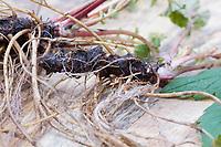 Nelkenwurz-Wurzel, Nelkenwurz-Wurzeln, Wurzel, Wurzel, Wurzeln von Echter Nelkenwurz, Echte Nelkenwurz, Gemeine Nelkenwurz, Nelkenwurz, Wurzelernte, Geum urbanum, wood avens, herb Bennet, colewort, St. Benedict's herb, root, roots, La benoîte commune, benoite commune