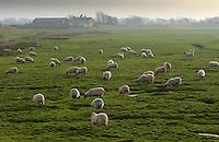 Sheep grazing on salt marshes, Cockerham Marsh, Cockerham, Lancashire.