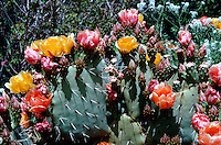 Close up detail of multicolored Prickly Pear cactus (Opuntia) blossoms. Arizona.