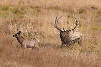 Bull Elk with cow, Rocky Mountain National Park, Colorado