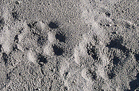 Puma tracks found in the sand near the shores of a lake.
