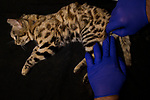 Black-footed Cat (Felis nigripes) biologist, Jason Herrick, collecting sperm of male for artifical insamination in captive population, Benfontein Nature Reserve, South Africa