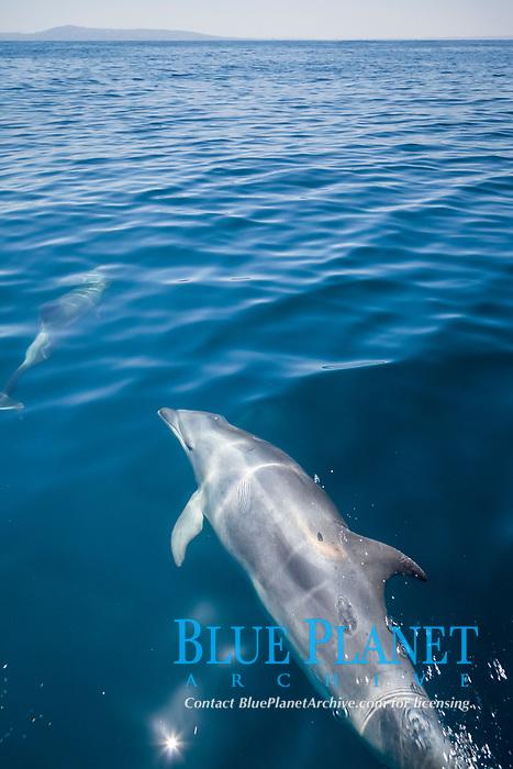 common bottlenose dolphin, Tursiops truncatus, bow-riding, San Diego, California, USA, Pacific Ocean