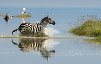 Grant's Zebra, Equus quagga boehmi, runs through shallow water at the edge of Lake Nakuru in Lake Nakuru National Park, Kenya