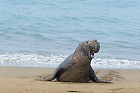Northern Elephant Seal (Mirounga angustirostris) bull bellowing as he comes ashore.  California's Pacific Ocean Coast.