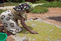 Zanzibar, Tanzania.  Woman Spreading Cloves to Dry in the Sun.