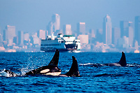 killer whale, Orcinus orca, ferry and Seattle skyline in background, Elliot Bay, Puget Sound, Washington, USA, Pacific Ocean