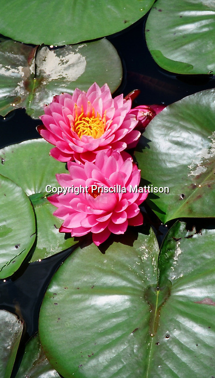Pink water lilies float in a pond.
