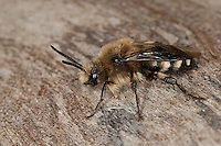 Gemeine Trauerbiene, Trauer-Biene, Melecta albifrons, Melecta punctata, Melecta armata, Kuckucksbiene, Cuckoo bee