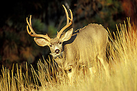 Mule Deer buck (Odocoileus hemionus) eating dried leaves of  balsamroot.  Western U.S., Fall.