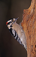 Downy Woodpecker, Picoides pubescens, male, Burlington, North Carolina, USA, January 2005