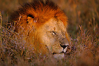 African lion (Panthera leo) male, Masai Mara National Reserve, Kenya.