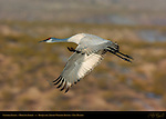 Sandhill Crane, Morning Flight, Bosque del Apache Wildlife Refuge, New Mexico
