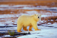 Polar Bear cub walking across tundra in Arctic National Wildlife Refuge, Alaska.  Fall.