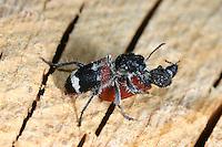 Eichen-Buntkäfer, Eichenbuntkäfer, Großer Ameisen-Buntkäfer, Großer Ameisenbuntkäfer, Clerus mutillarius, Pseudoclerops mutillarius, Checkered Beetle