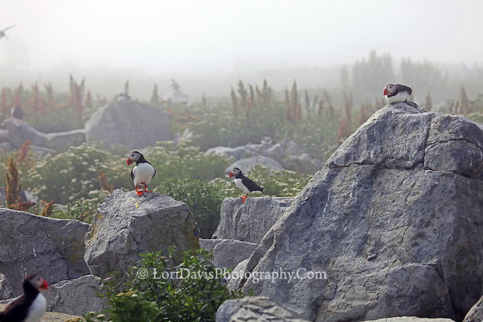 Puffins in the Fog  #P51