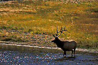 Elk (Cervus elaphus) in the stream
