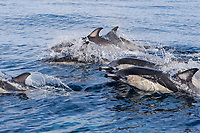 short-beaked common dolphins, Delphinus delphis, porpoising out of the water at high speed, off San Diego, California, USA, (Eastern Pacific Ocean)