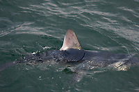 porbeagle shark, Lamna nasus (c), with dorsal fin exposed showing white patch at rear base of fin that is diagnostic of the species, New Brunswick, Canada (Bay of Fundy)