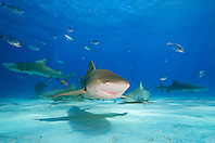 lemon sharks, Negaprion brevirostris, blue runner jacks, Caranx crysos, and scuba diver, West End, Grand Bahama, Atlantic Ocean