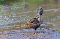 Hadada ibis (Bostrychia hagedash), Lake Nakuru National Park, Kenya
