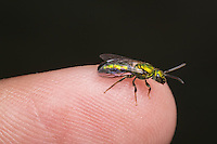 A bright metallic green Sweat Bee (Augochlora pura) stands on the tip of a finger.