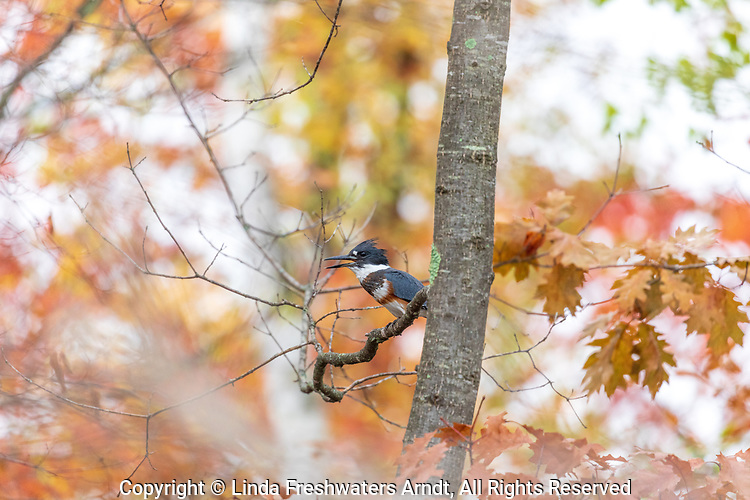 Female belted kingfisher in a pretty autumn setting in northern Wisconsin.