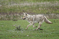 Lamar Coyote, Yellowstone
