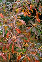 Franklinia alatamaha in autumn color