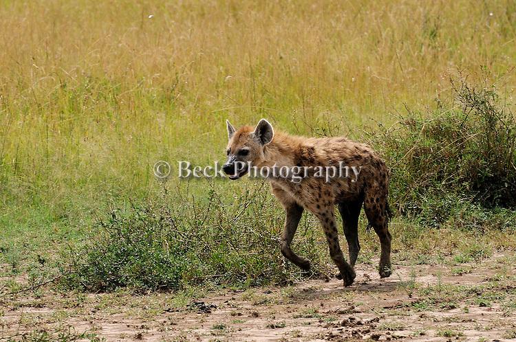 A spotted hyena , Crocuta Crocuta, from East Africa.