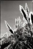Back lit Reeds<br />