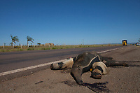 Tamanduá Bandeira atropelado por caminhão na rodovia MT 020.<br /> Canarana, Mato Grosso, Brasil.<br /> Foto Paulo Santos<br /> 31/07/2015
