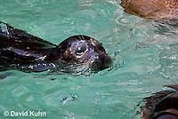 1105-1001  Harbor Seal (Harbour Seal), Common Seal, Phoca vitulina  © David Kuhn/Dwight Kuhn Photography