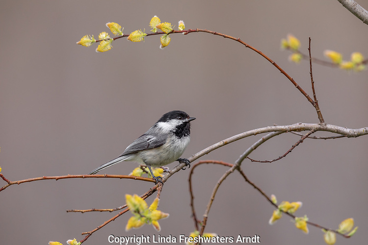 Black-capped chickadee perched on a willow in northern Wisconsin.