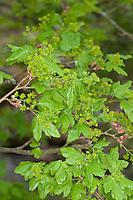 Feld-Ahorn, Feldahorn, Ahorn, Blüten und frische Blätter, Blatt, Blüte, Acer campestre, Field Maple, Hedge Maple, Erable champêtre